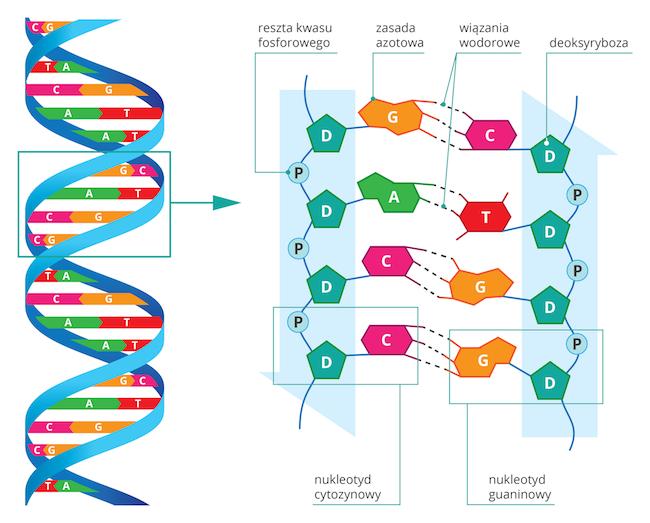 genetyka podstawy